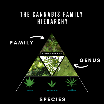 cannabis family hierarchy- Difiori